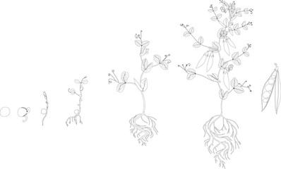 Coloring page. Life cycle of pea plant. Stages of pea growth from seed and sprout to adult plant with fruits