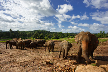 Herd of elephants in the nature