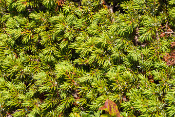 branches of coniferous evergreen trees wallpaper. background