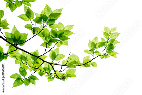 Wall mural Green tree leaves and branches isolated on white background.