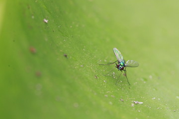 Close up small green fly on green leaf