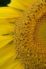 Sonnenblume Blüte Nahaufnahme