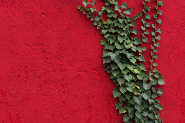Red wall with green leaves as background, texture. Green ivy plant against red surface. Red and green contrast.
