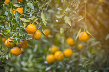 Hanging ripe oranges on branch in the orange garden, artificial light, selective focus, copy space