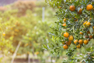 Orange trees, Bunch of ripe oranges hanging on a tree and Trees Prop Up, artificial light, copy space, selective focus