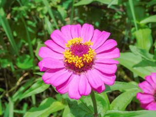 cosmos flower in park