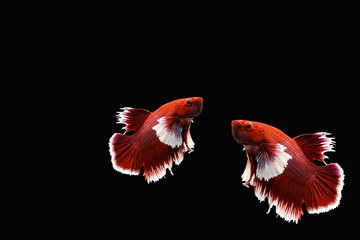 Red and White siamese Fighting fish on black background