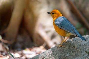 Bird in orange color..Orange headed thrush bird perching on big root beside a pond in deep rainforest of Thailand,rear view.