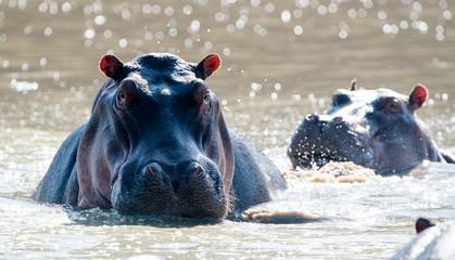 Common Hippopotamus (Hippopotamus amphibius) in river, Masai Mara, Kenya