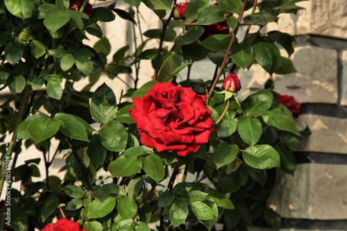 Le Symbole Absolu De La Fleur La Rose Rouge Qui Est La Messagere De