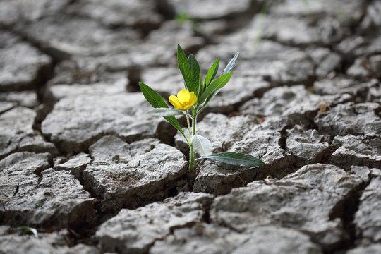 Blume kämpft sich durch trockene Erde