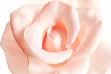 Beautiful rose flower, closeup