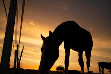 Cavalli della Normandia