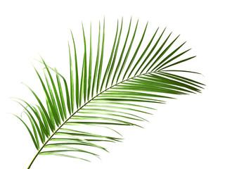 Fresh tropical date palm leaf on white background