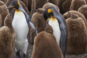 King Penguin chick (Aptenodytes patagonicus) seeking food from an adult at Volunteer Point in the Falkland Islands.