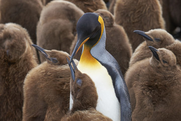 Adult King Penguin (Aptenodytes patagonicus) standing amongst a large group of nearly fully grown chicks at Volunteer Point in the Falkland Islands.