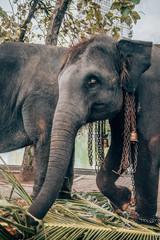 Elephant in captivity with beautiful eyes