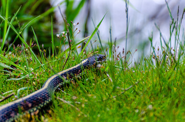 Garter Snake at Turnbull National Wildlife Refuge
