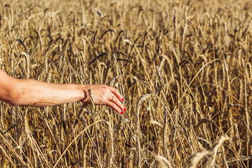Girl in the field at sunset touches the wheat spikelets
