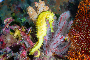 Wall Mural - A cute, bright yellow Thorny Seahorse on a tropical coral reef