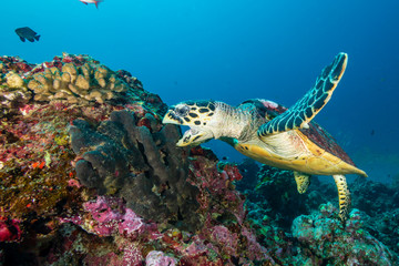 Wall Mural - A Hawksbill Sea Turtle surrounded by tropical fish feeding on a coral reef