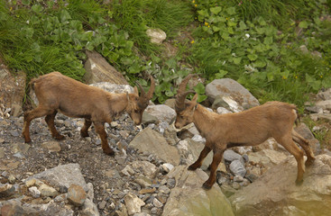 Two young males of alpine ibex, view from close-up