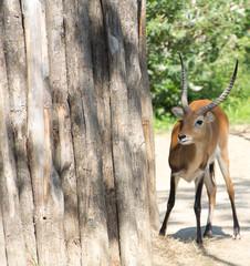 Antilope qui se cache