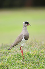 Single Masked Lapwing or Spur-wing Plover Bird on Golf Course