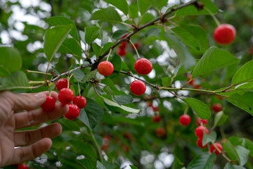 Cherry picking season, red cherries natural