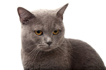 blue gray british cat on the white