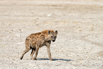 Photo sur Plexiglas Hyène A lone Spotted Hyena leaves a waterhole, Etosha National Park, Namibia.