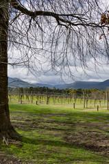 Winter Vineyards vert