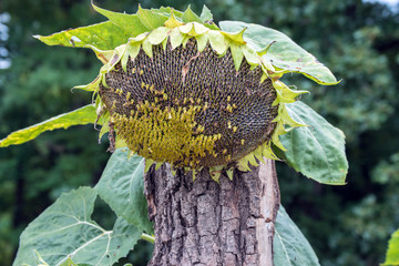 A dying sunflower props itself against a tree stump. The photographer captured a defocused background.