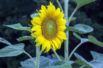 A yellow sunflower with a bokeh background.