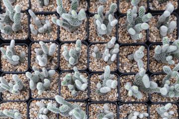 mini cactus plant in black pot