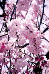 Sakura in soft focus, beautiful cherry blossom in Japan, bright pink flowers of Sakura on the blurry background. Spring background and beautiful natural scenery.