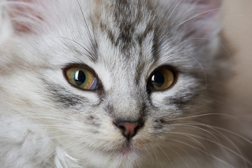 Close-up portrait of fluffy cat