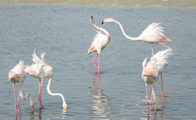 Fighting Flamingo's