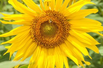 Bright yellow sunflower close-up