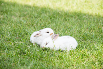 Small white rabbits in grass