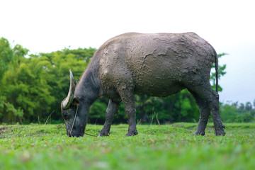 Wildlife Buffalo muddy body