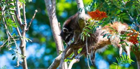 raccon hanging resting