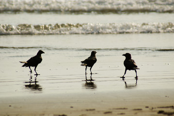 three crows walking on the beach and in the water