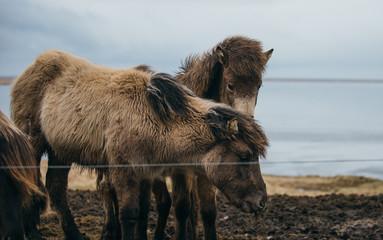Icelandic horses in the nature