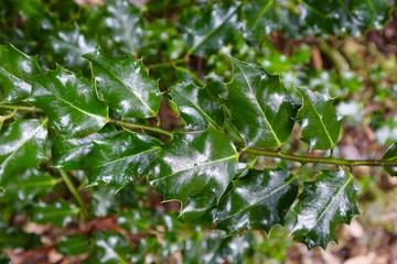 Green Christmas Holly Bush