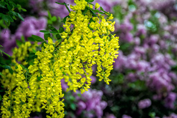 Beautiful flowers of Caragana arborescens or yellow acacia closeup with lilac flowers on background. Blooming spring nature