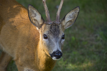 Fototapete - Roe deer in forest - Capreolus capreolus close up