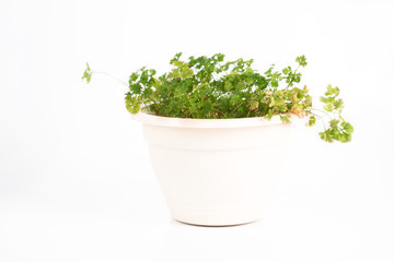 Pot with parsley on a white background.