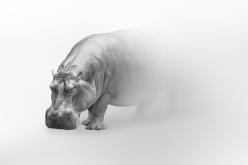 Wall Mural - Hippo africa wildlife animal art collection grayscale white edition