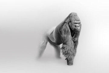 Wall Mural - Gorilla africa wildlife animal art collection grayscale white edition